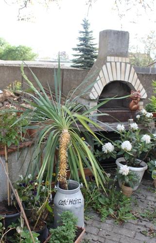 die Palme mit Blütenstrang in der Alukanne