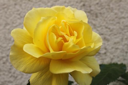 Die gelbe Duftende