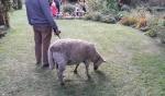 das Schaf an der Leine